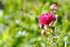 美丽的桃红色瓷在春天上升了在庭院里 图库摄影