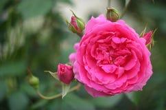 美丽的桃红色瓷在春天上升了在庭院里 免版税库存图片