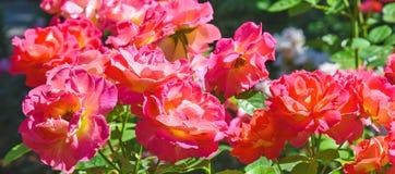 美丽的桃红色瓷在春天上升了在庭院里 免版税图库摄影