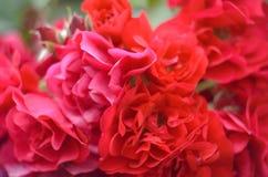 美丽的桃红色瓷在春天上升了在庭院里 免版税库存照片