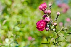美丽的桃红色瓷在春天上升了在庭院里 库存照片