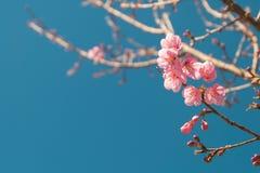 美丽的桃红色白色樱花在有蓝天的,佐仓庭院里开花树枝 自然冬天春天背景 免版税图库摄影