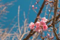 美丽的桃红色白色樱花在有蓝天的,佐仓庭院里开花树枝 自然冬天春天背景 库存照片