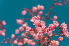 美丽的桃红色白色樱花在有蓝天的,佐仓庭院里开花树枝 自然冬天春天背景 图库摄影