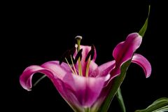 美丽的桃红色百合有黑背景 免版税图库摄影