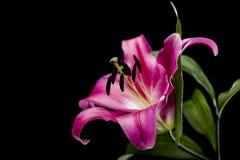 美丽的桃红色百合有黑背景 图库摄影