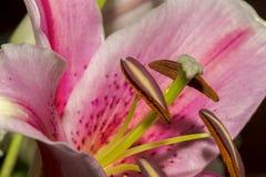 美丽的桃红色百合花的软的焦点特写镜头图象 库存图片