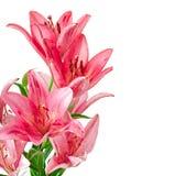 美丽的桃红色百合 免版税图库摄影