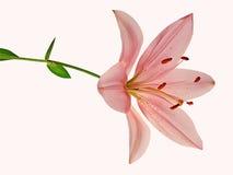 美丽的桃红色百合 库存照片