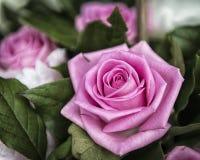 美丽的桃红色罗斯花在庭院,所有场合的完善的礼物里 免版税图库摄影