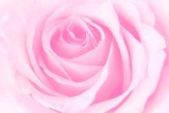 美丽的桃红色罗斯 免版税图库摄影