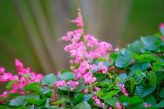 美丽的桃红色花和变色蜥蜴动物在庭院里有自然绿色背景 免版税库存图片