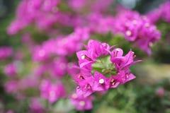 美丽的桃红色花在公园 库存照片