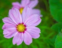 美丽的桃红色花在庭院里 免版税库存照片