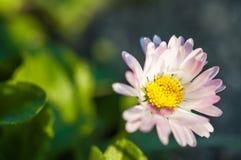 美丽的桃红色花在庭院里 库存图片