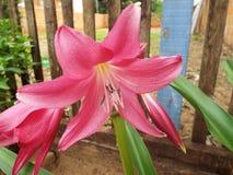 美丽的桃红色花在庭院里 库存照片