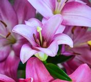 美丽的桃红色花束花 库存照片