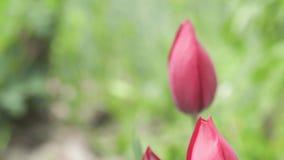 美丽的桃红色花郁金香在庭院里关闭  股票录像