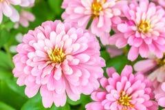 美丽的桃红色花,百日菊属violacea贾夫 免版税库存图片
