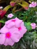 美丽的桃红色花 库存图片