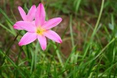 美丽的桃红色花 库存照片