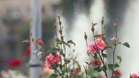 美丽的桃红色英国兰开斯特家族族徽在喷泉附近的城市广场 晴朗的夏日,轻风,动态场面,被定调子的录影 影视素材