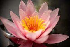 美丽的桃红色荷花在湖 免版税库存照片