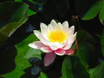 美丽的桃红色荷花莲花以池塘绿色离开 库存图片