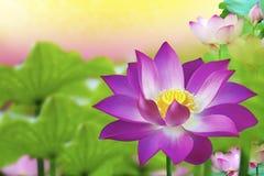 美丽的桃红色莲花在池塘-开花开花 免版税库存图片