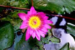 美丽的桃红色莲花在池塘 免版税库存图片
