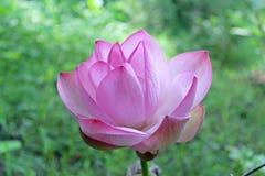 美丽的桃红色莲花开花 免版税库存照片