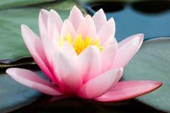 美丽的桃红色莲花或荷花在池塘 库存图片