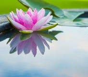 美丽的桃红色莲花,有反射的水厂在池塘 库存照片