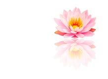 美丽的桃红色莲花,有反射的水厂在白色backg 免版税库存图片