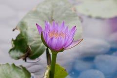 美丽的桃红色莲花,水厂在池塘 库存照片