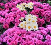 美丽的桃红色菊花开花背景 免版税库存图片