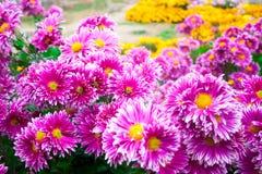 美丽的桃红色菊花当背景图片 菊花墙纸,菊花在秋天 免版税库存图片