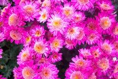 美丽的桃红色菊花当背景图片 菊花墙纸,菊花在秋天 免版税图库摄影