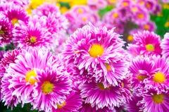 美丽的桃红色菊花当背景图片 菊花墙纸,菊花在秋天 库存照片