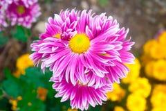 美丽的桃红色菊花当背景图片 菊花墙纸,菊花在秋天 免版税库存照片