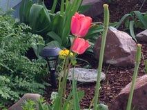 美丽的桃红色郁金香和蒲公英 库存照片