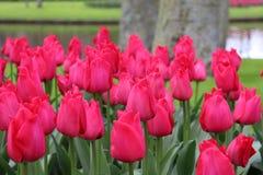 美丽的桃红色郁金香在公园 库存照片