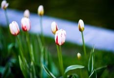 美丽的桃红色郁金香漩涡花饰 桃红色郁金香在庭院里 库存图片