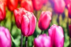 美丽的桃红色郁金香 背景蓝色云彩调遣草绿色本质天空空白小束 免版税库存图片