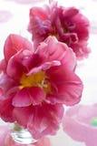 美丽的桃红色郁金香 免版税库存照片
