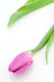 美丽的桃红色郁金香 免版税图库摄影