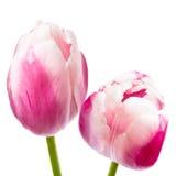 美丽的桃红色郁金香 免版税库存图片