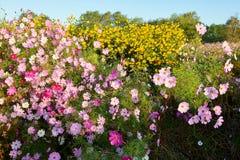 美丽的桃红色金鸡菊花和黄色花 免版税库存照片