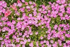 美丽的桃红色长春花属roseus花在花圃里 库存照片