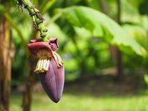 美丽的桃红色香蕉开花 免版税库存照片